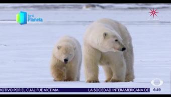 Gigantes de Alaska: Seguimiento a una familia de osos polares