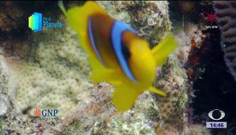 El pez payaso adorna los arrecifes del mar Rojo en Israel
