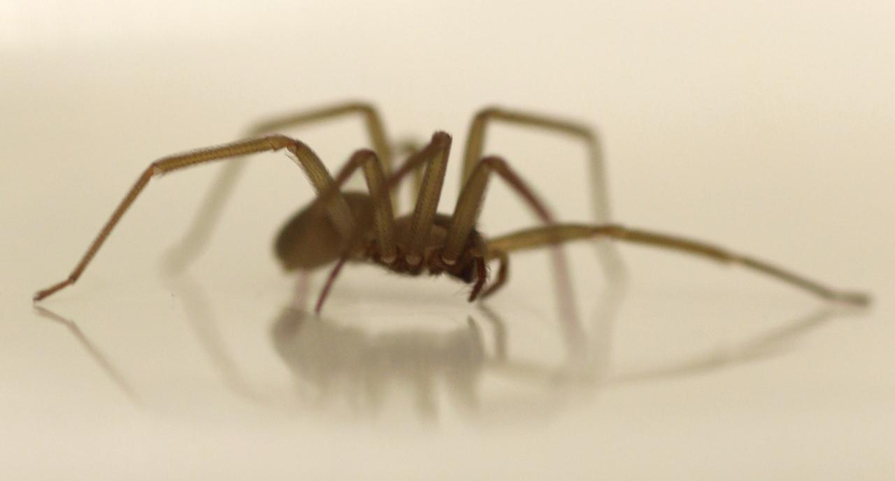 araña-violinista-especie-aracnido-mas-peligrosa-de-mexico-prolifera-en-tiempos-de-calor
