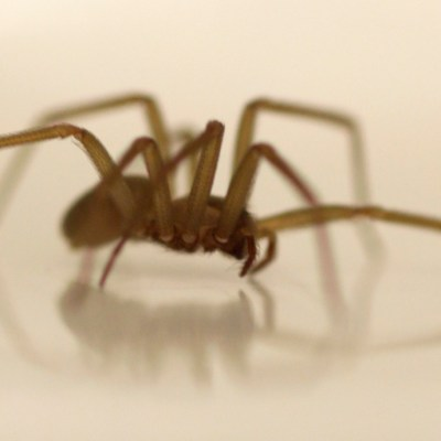 Conoce a la araña violinista y por qué es la más peligrosa en México