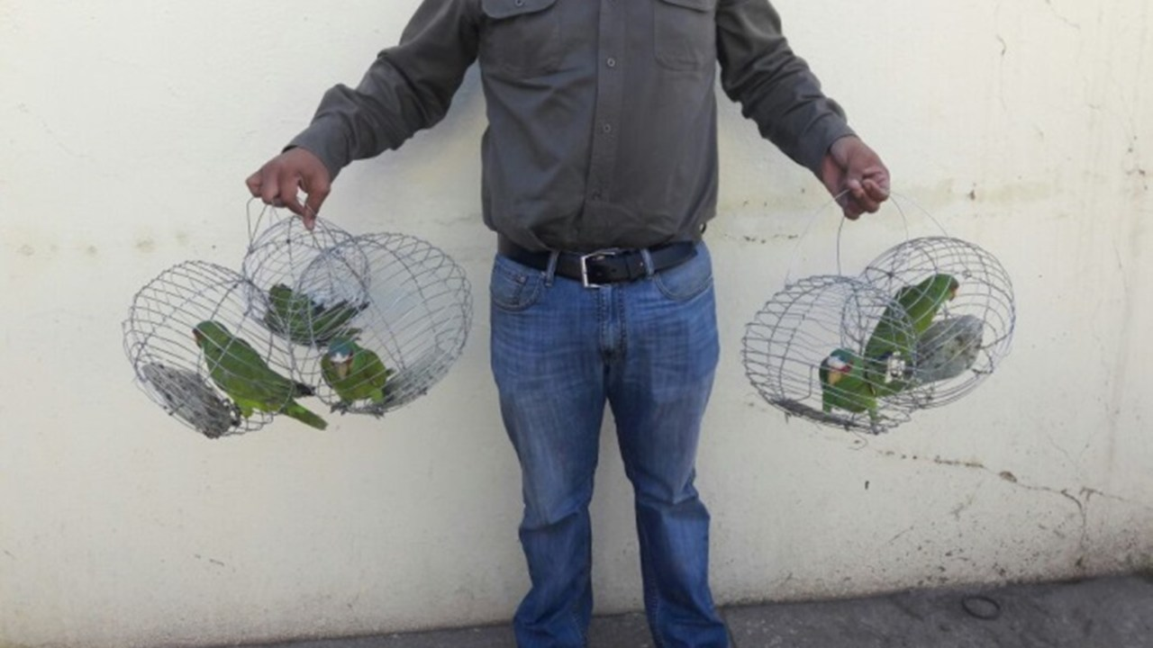 Asegura Profepa seis pericos comercializados ilegalmente en Navolato