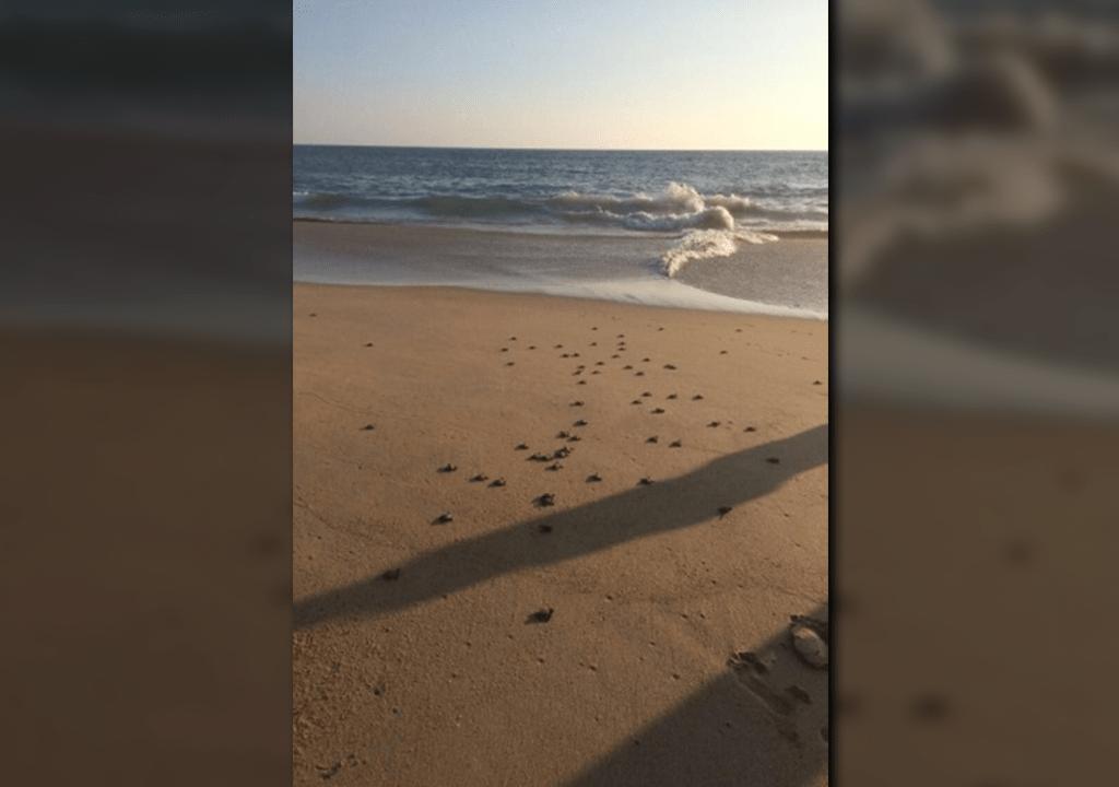 Libera Profepa 76 crías de tortuga golfina
