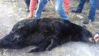 encuentran oso negro muerto por disparo en saltillo
