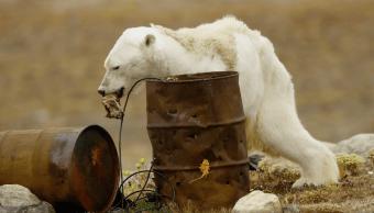 Video muestra a oso polar días antes de su muerte