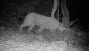 Puma es captado mientras recorre zona protegida en SLP. (Conanp)