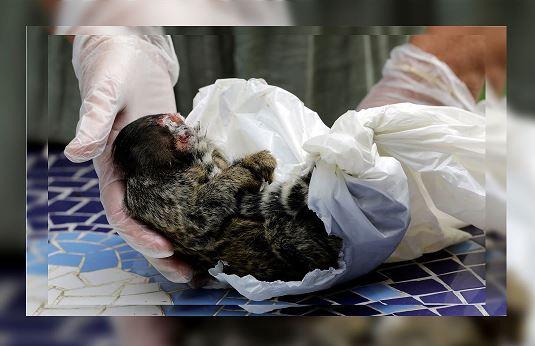 Denuncian masacre de monos por miedo contagio de fiebre amarilla en Brasil