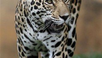 se duplica poblacion de jaguares en mexico