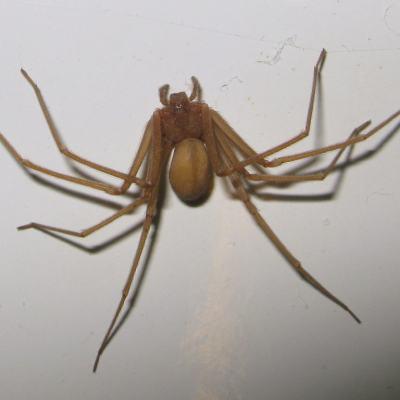 Identifican en Tlaxcala nueva especie de la letal araña violinista