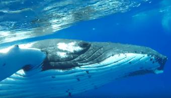 Ballena protege a buzo de ataque de tiburón