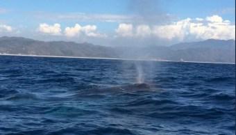 Universitarios de Colima rescatan a una ballena enmallada