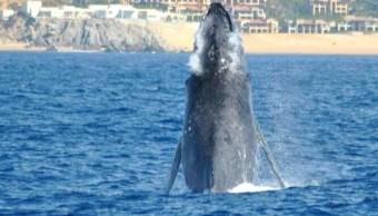Inicia temporada de avistamiento de ballenas en BCS