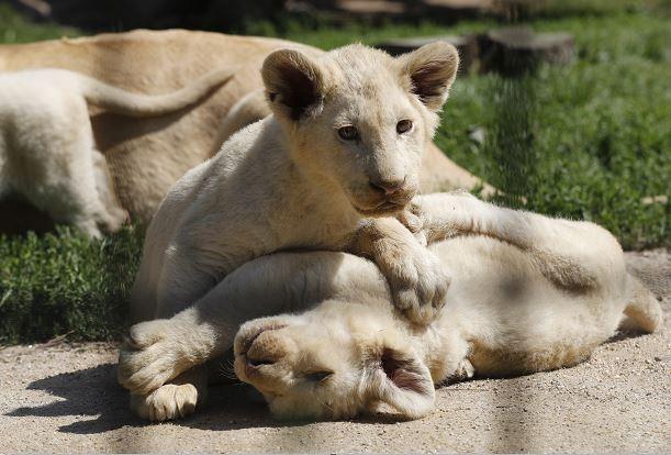 Zoo sueco admite sacrificó 9 cachorros de león por falta de espacio