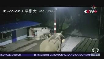 Captan a elefante salvaje en el cruce fronterizo de China