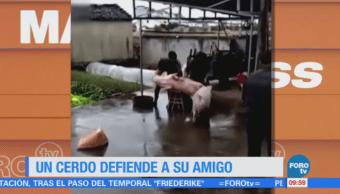 Extra Extra: Un cerdo defiende a su amigo