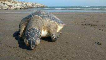 Hallan a tortuga muerta en Boca del Río, en Veracruz