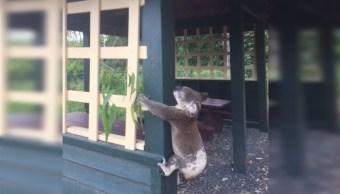 Australia investiga muerte de koala que apareció atornillado a un poste