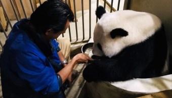pandas conciben su segundo hijo en kuala lumpur