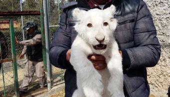Nace león blanco en zoológico de Tlaxcala