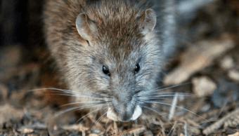 Miles de ratas causan alerta en la capital francesa