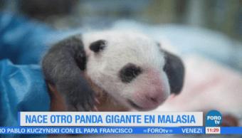 Extra Extra: Nace otro panda gigante en Malasia
