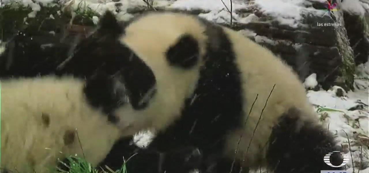 Pandas Disfrutan Nieve Austria