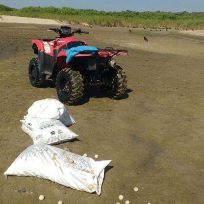 Recuperan 2 mil 750 huevos de tortuga golfina en Playa de Escobilla, Oaxaca