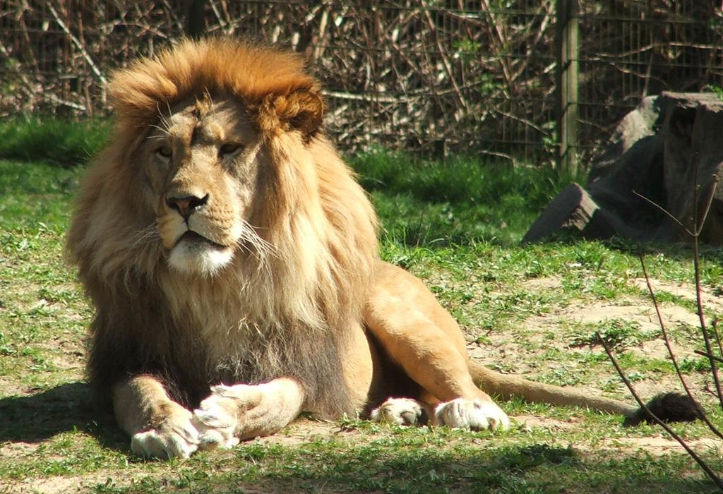 ¿Karma?: un cazador muere al intentar matar a un león cautivo