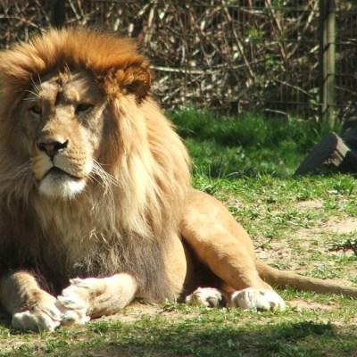 Cazador es asesinado mientras cazaba a un león
