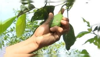 Campesinos de Hidalgo cambian el maíz por aguacate; ya no era redituable