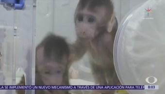 Científicos chinos clonan pareja de monos