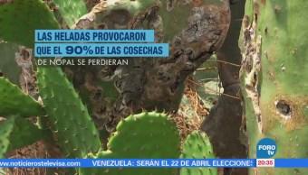 Cosechas de nopal se perdieron por heladas en Milpa Alta