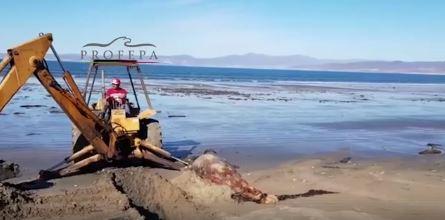 profepa localiza dos delfines muertos en playas de ensenada, baja california