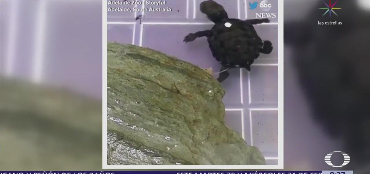 El primer nado de una tortuga en Australia