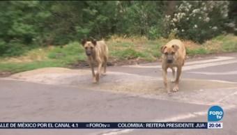 Identifican jaurías de perros salvajes en Los Dinamos