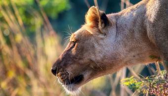 Leonas atacan a macho Delante turistas Safari