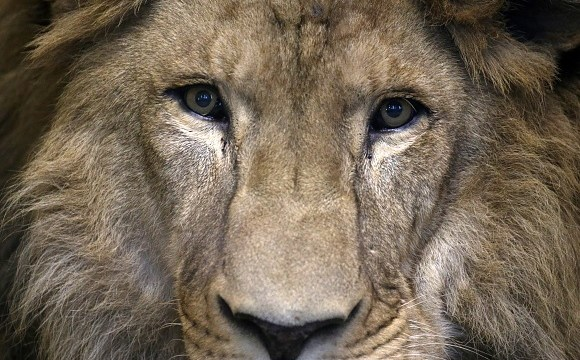 Leones se comen por completo a cazador en Sudáfrica