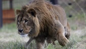 Dos leones rescatados de Irak y Sira llegan a santuario de Sudáfrica
