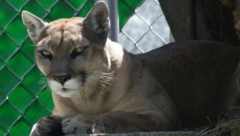 Mistli-Puma-Mascota-Unam-Muere-Pumas
