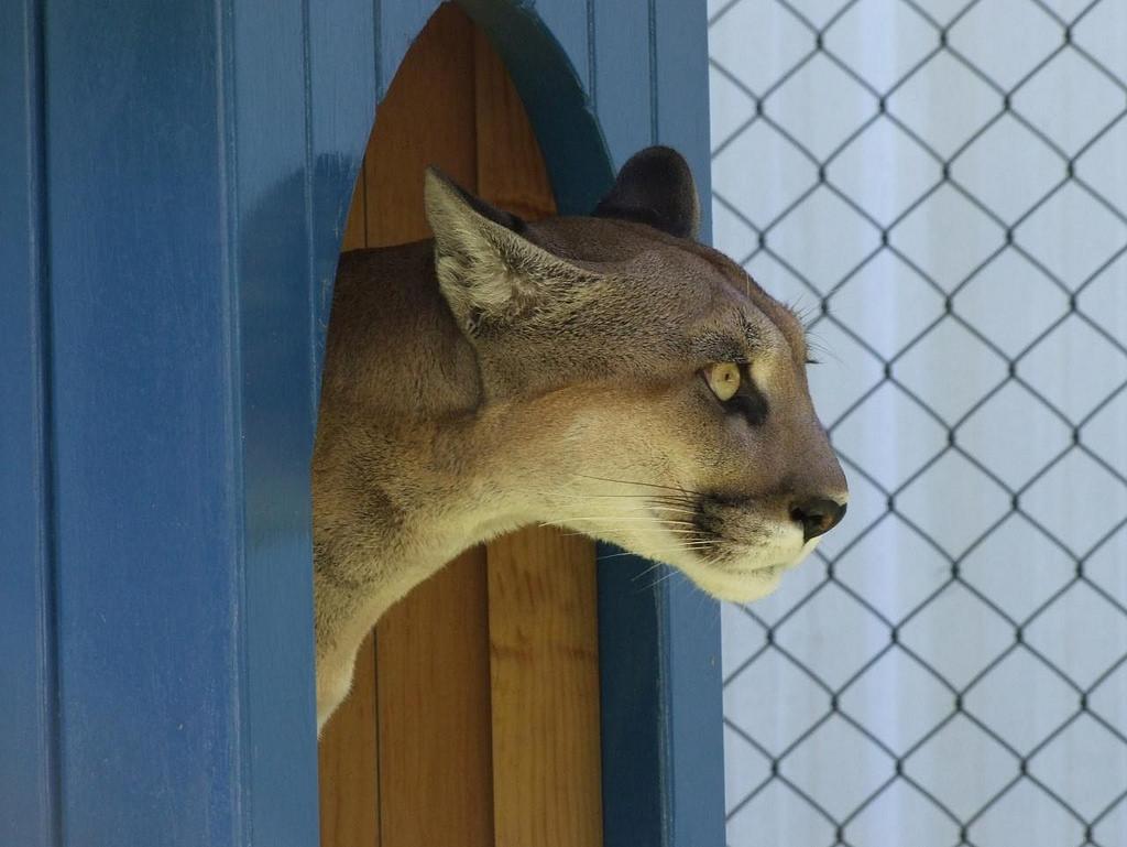Fallece Miztli, la puma emblemática de la UNAM