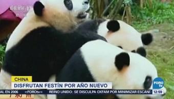 Pandas disfrutan festín por año nuevo chino