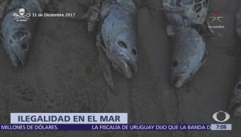 Pesca Ilegal Totoaba Pone Riesgo Pescadores Vaquita Marina
