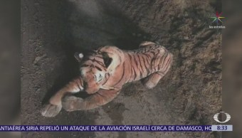Policías rodean a un tigre de peluche en Escocia