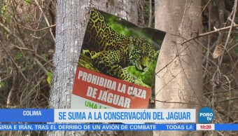 Protegerán la ruta del jaguar en Colima