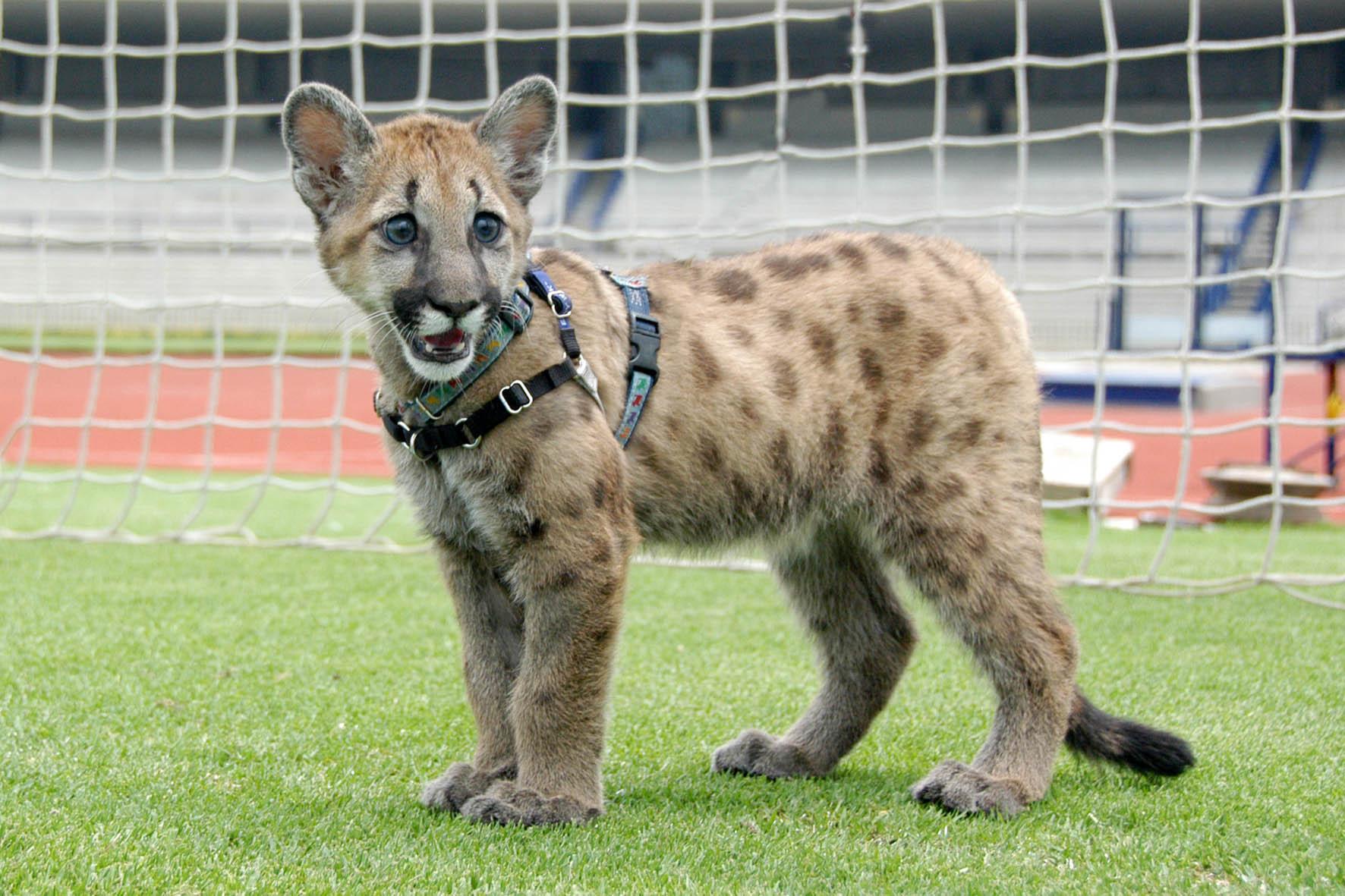 Muere Miztli, la hermosa mascota de Los Pumas