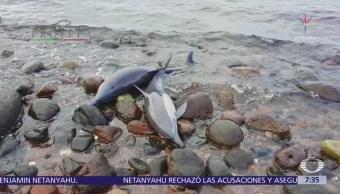 Rescatan a 33 delfines varados en La Paz, Baja California Sur