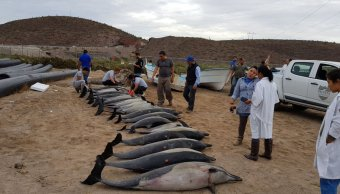 Varamiento de delfines en La Paz, Baja California Sur