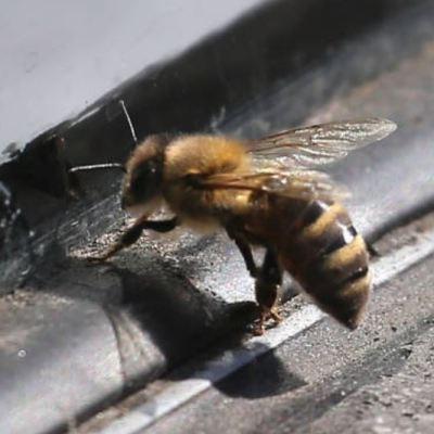 Población de abejas a nivel mundial ha disminuido 20%, revela FAO