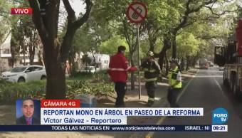 Brigadista animal intenta rescatar mono en Paseo de la Reforma, CDMX