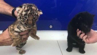 Policía Federal asegura cachorros de tigre y jaguar en aeropuerto de Tijuana