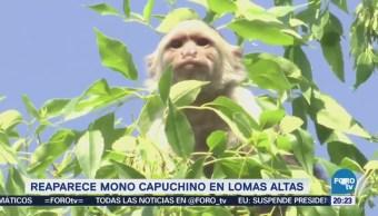 Continúan trabajos para capturar mono capuchino en la CDMX